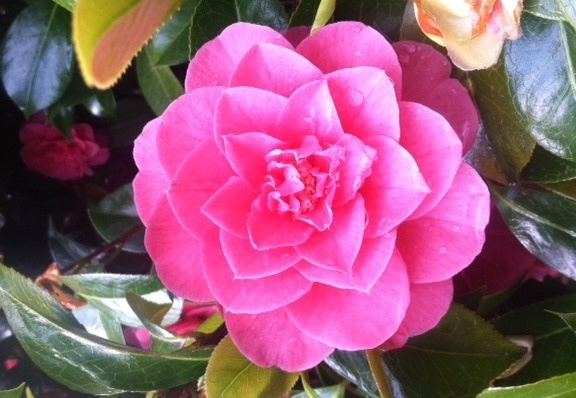 Camellia jap.  Unknown Pink, flower detail