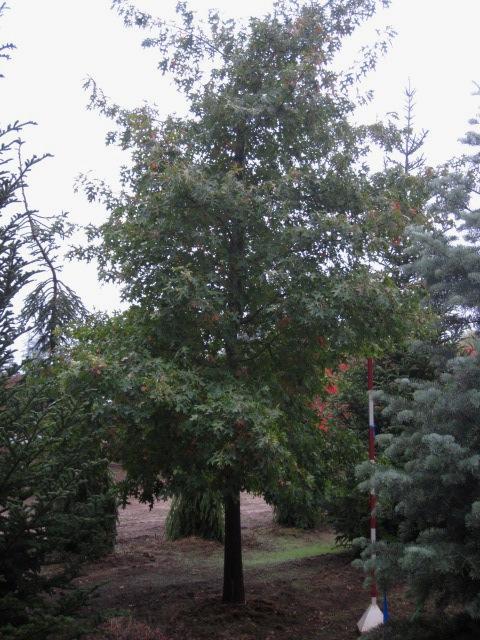 Quercus coccinea  unique specimens