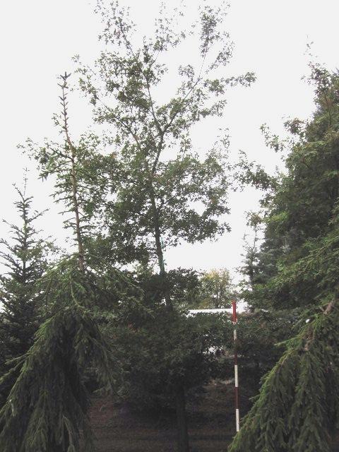 """Quercus coccinea-  our most """"unique"""" specimen"""