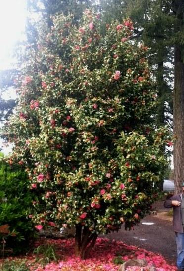 Camellia jap.  Unknown pink specimen