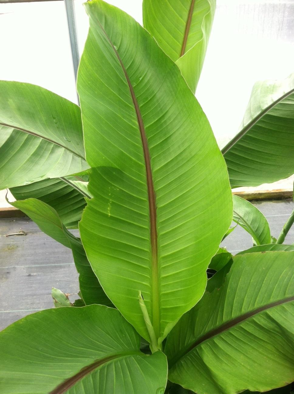 Banana leaf, close up