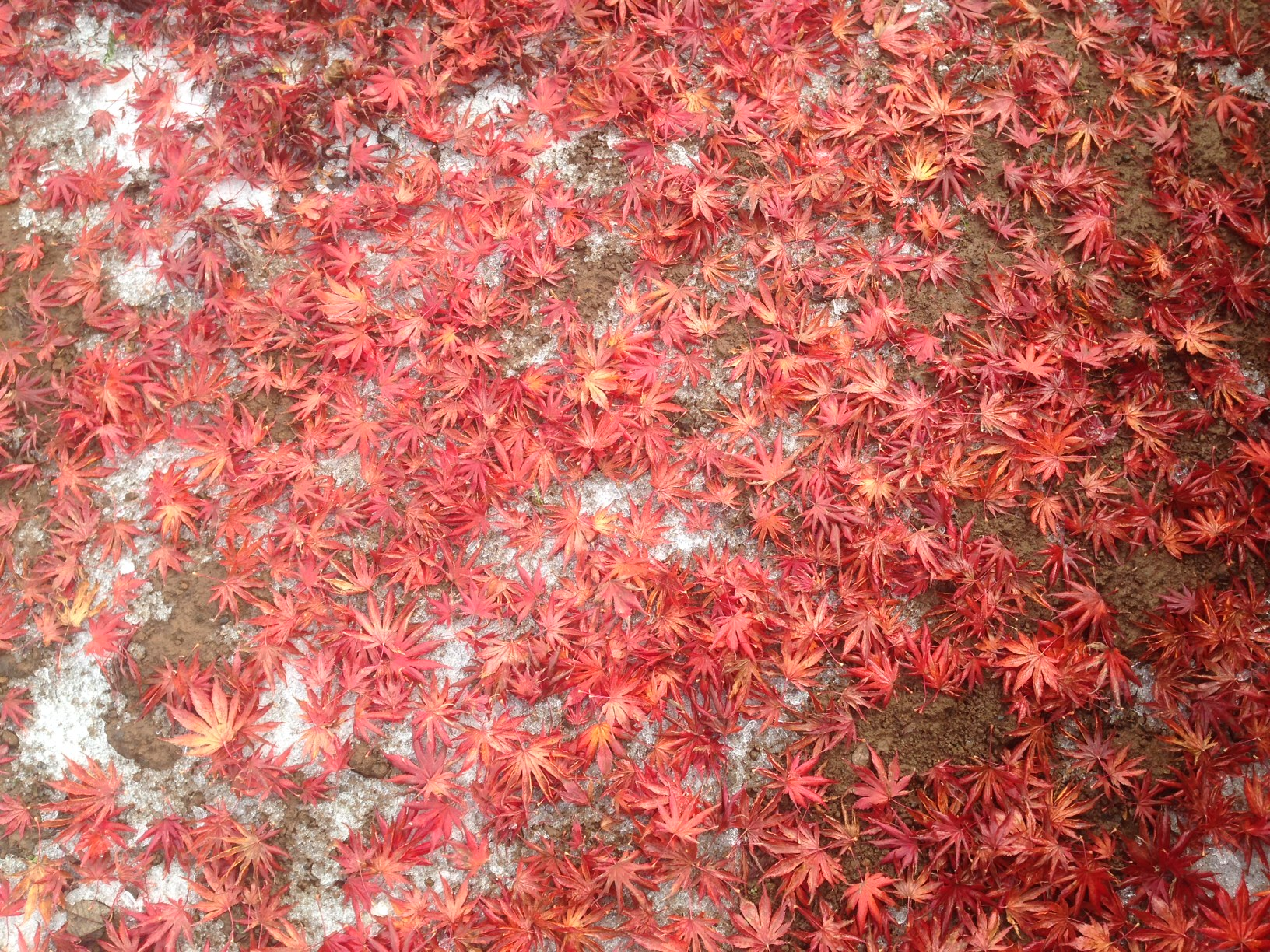 Fall leaves resting on early light snow