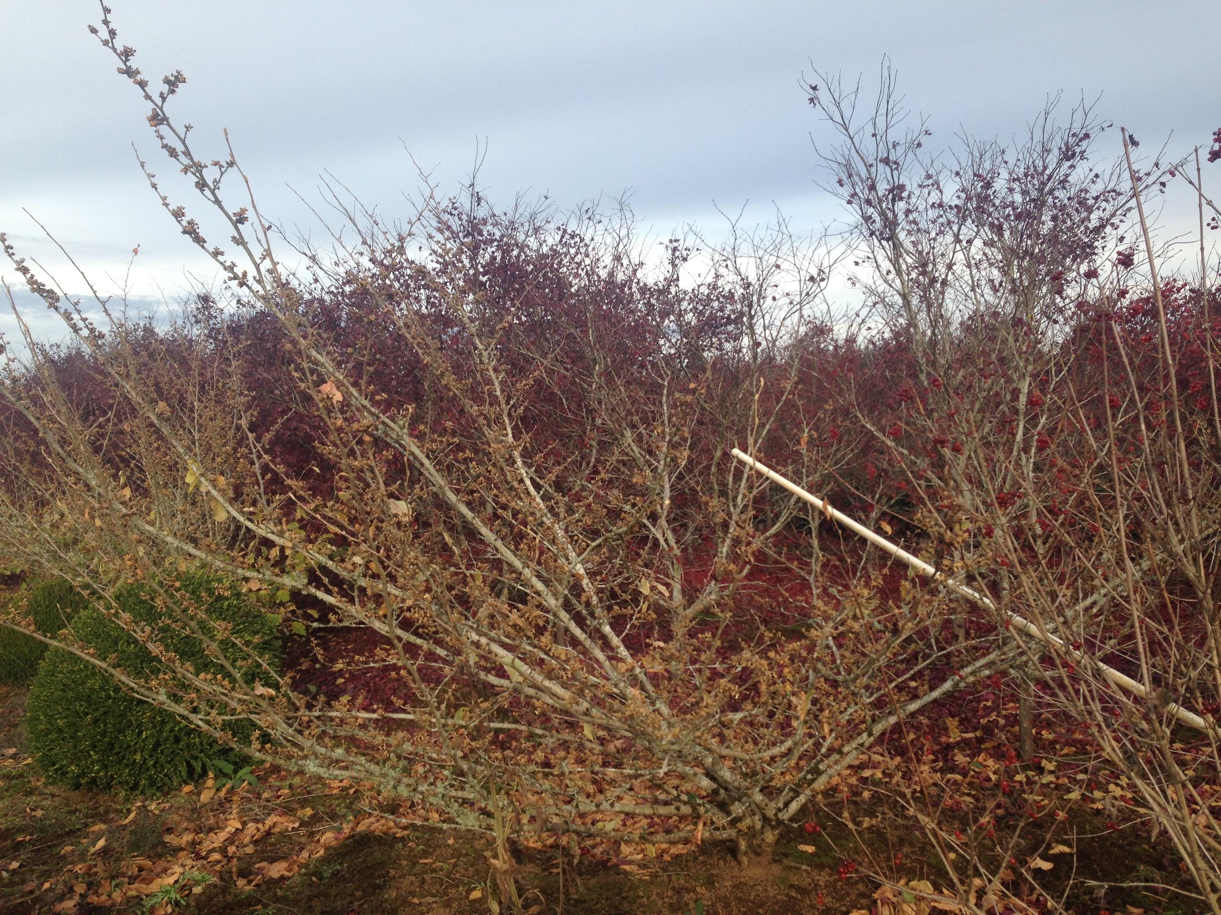 Hamamelis x int.  'Jelena' & 'Copper Beauty'  shrub forms