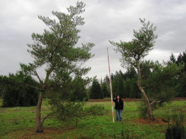 Pinus densiflora  'Oculus Draconis' specimens