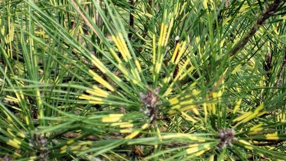 Pinus dens.  'Oculus Draconis' needle detail