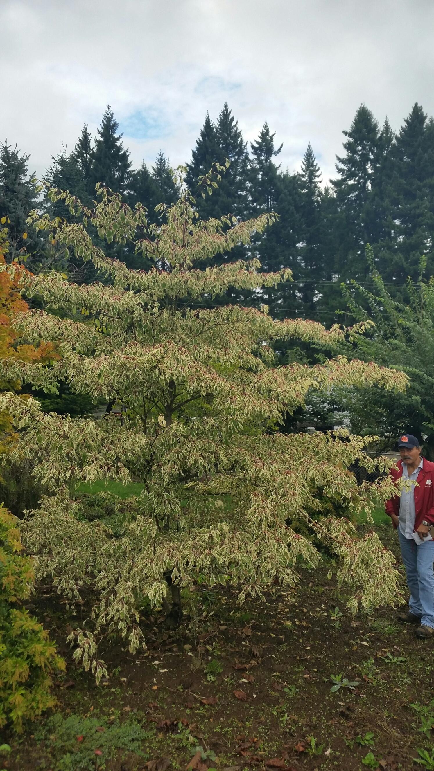 Cornus controversa  'Variegata' specimen