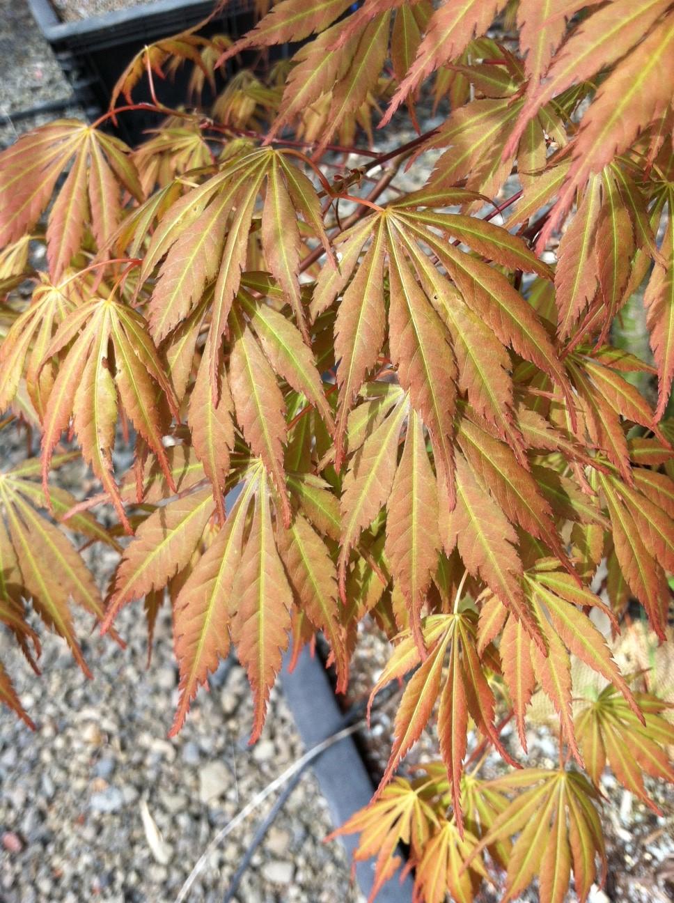 Acer p. 'Orange Dream', leaf close up
