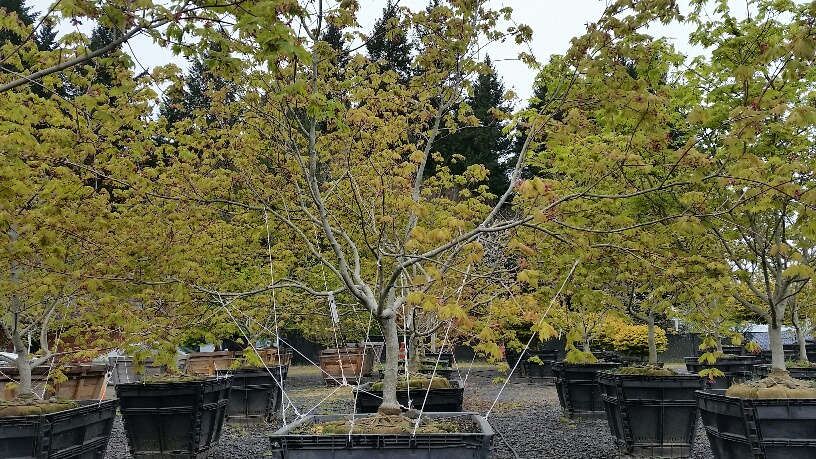 Acer japonicum  'Aconitifolium' being trained to spread horizontally