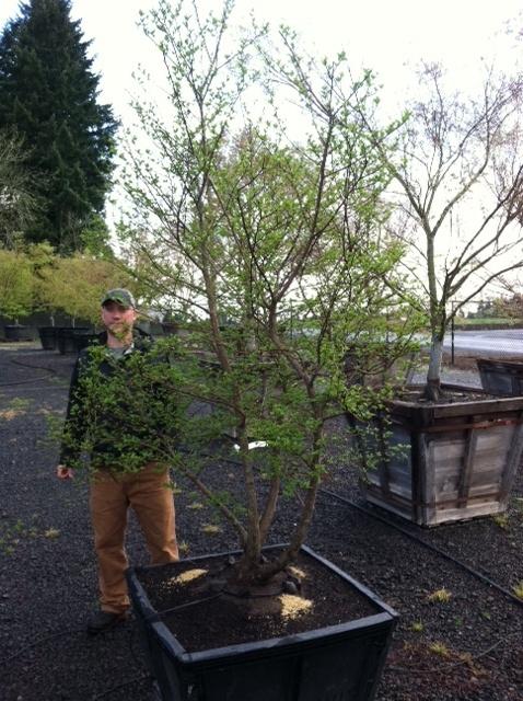 Styrax japonica , multi trunk Jr specimen