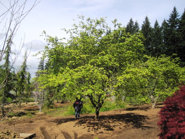 Acer jap.  'Aconitifolium' specimen (7 available)