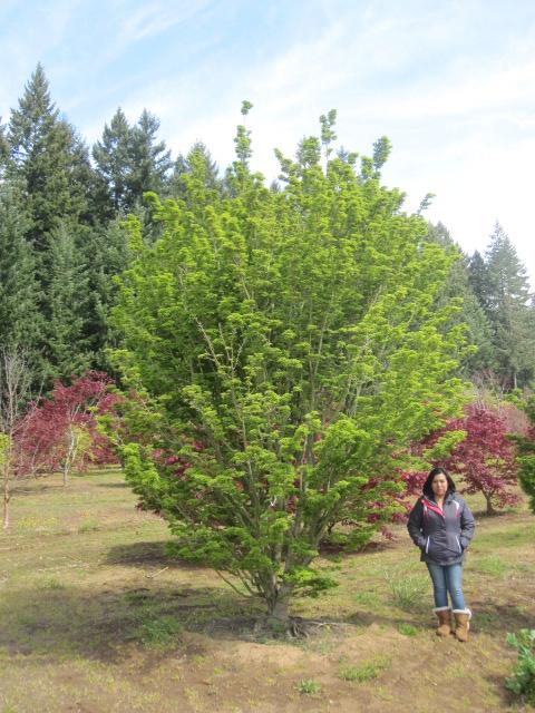 Acer p. 'Shishigashira' specimen (5 available)