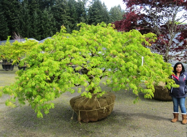 Acer jap.  'Green Cascade' specimen (2 available)