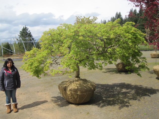 Acer jap.  'Green Cascade' specimen