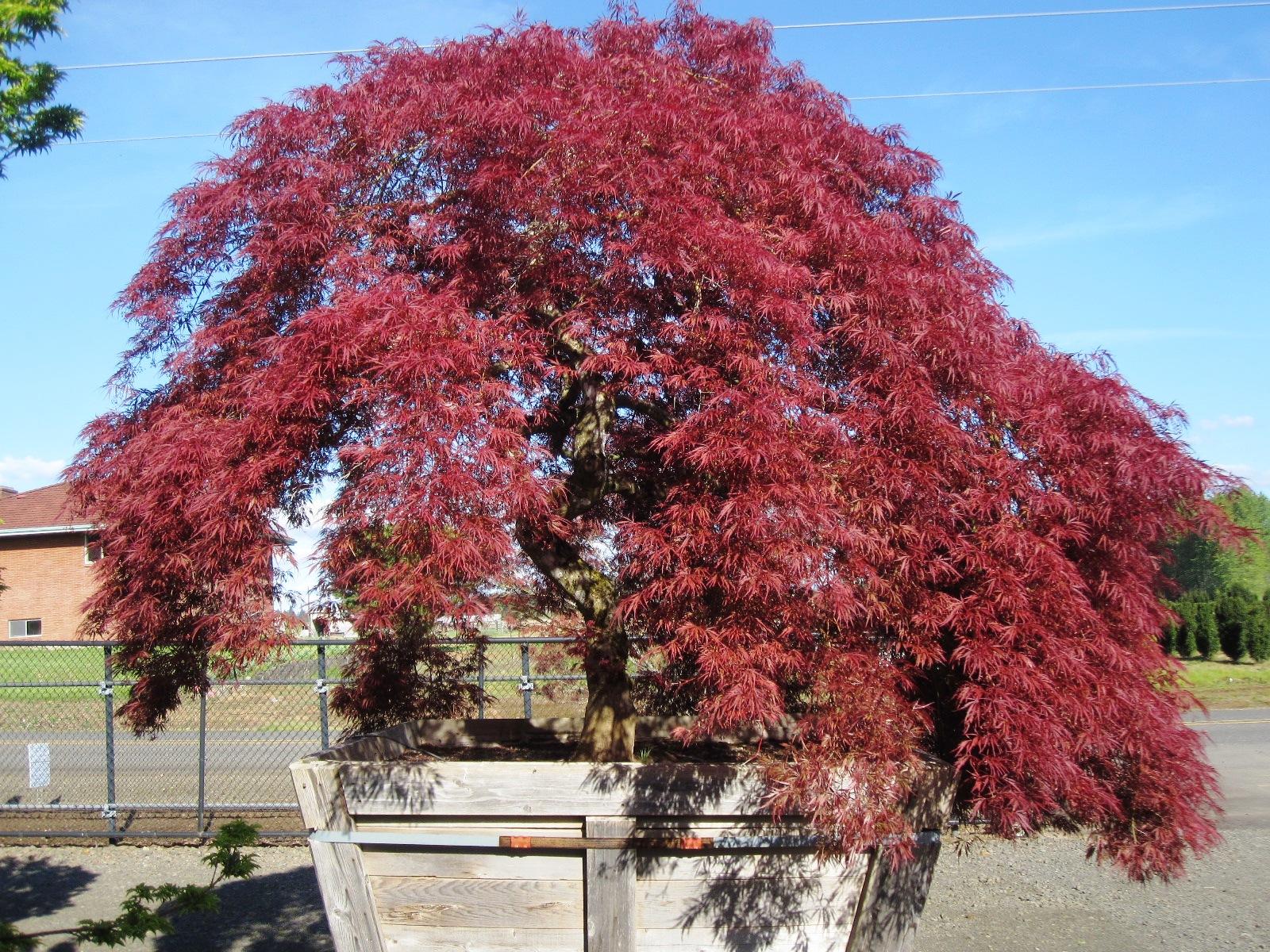 Acer palmatum var. dissectum  'Ever Red' specimen