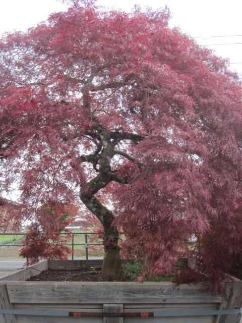Acer p.d.  'Ever Red' specimen, close-up