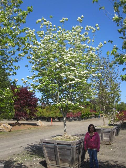 Cornus  x 'Rutban' (Aurora)  Dogwood, alt. view