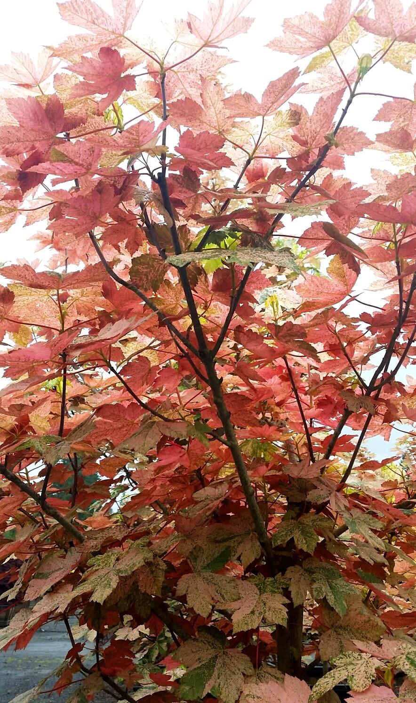 Acer pseu . 'Esk Sunset' leaf color
