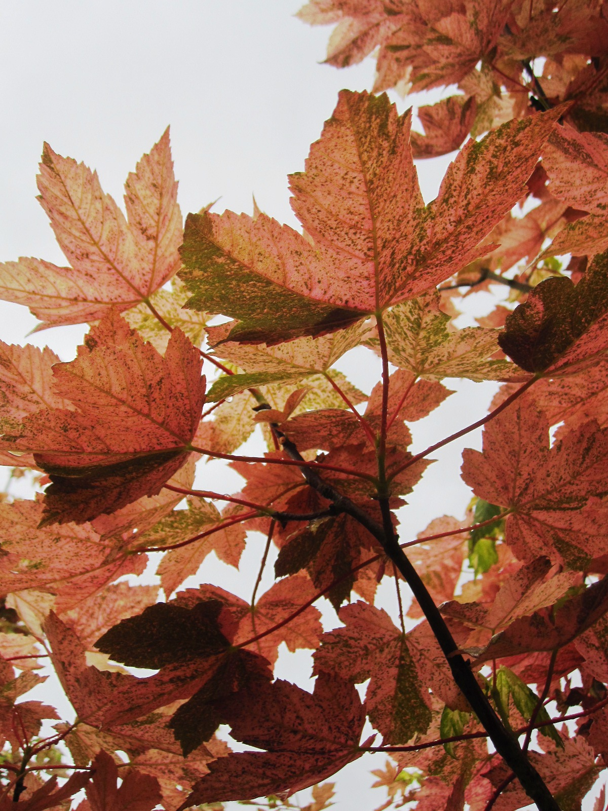 Acer pseu . 'Esk Sunset' leaf underside- will change to purple
