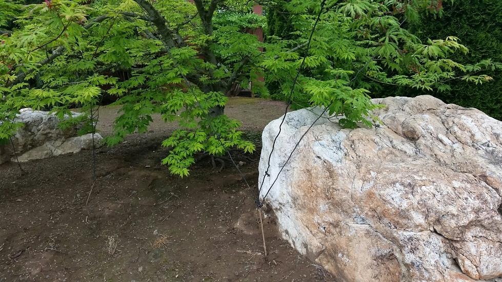 Acer circinatum  'Monroe' being trained horizontally