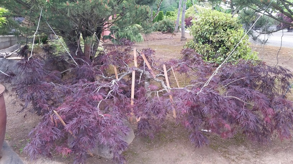 Training a dissectum maple to spread and trail for a water feature. Currently approx. 2'H x 15'+W...
