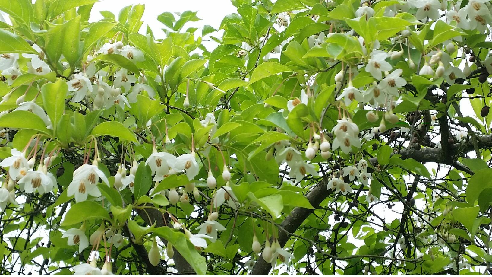 Styrax j.  'Carillon' flowers