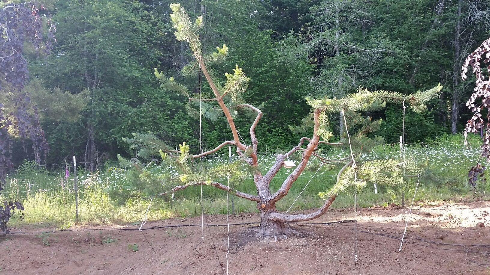 hard-training a Pine