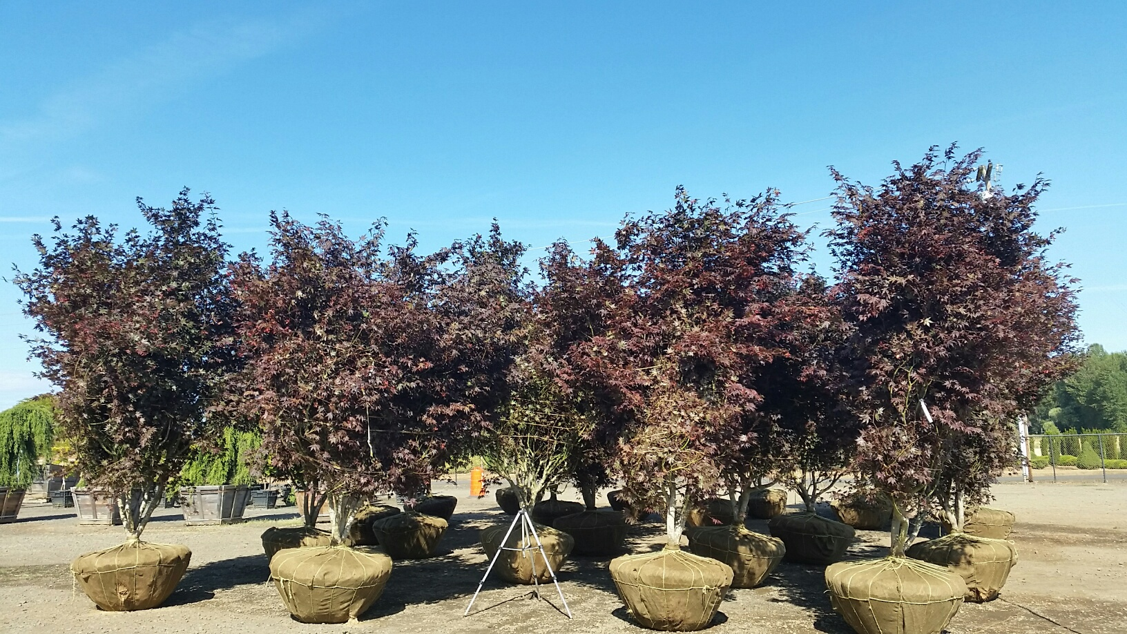 Bloodgood Japanese Maples, on the dock & ready to ship