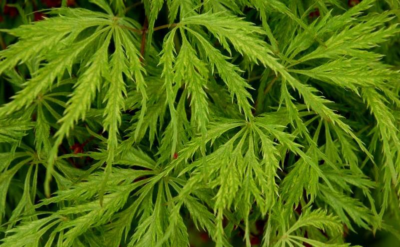Acer p.d. 'Green Filigree' leaf close-up