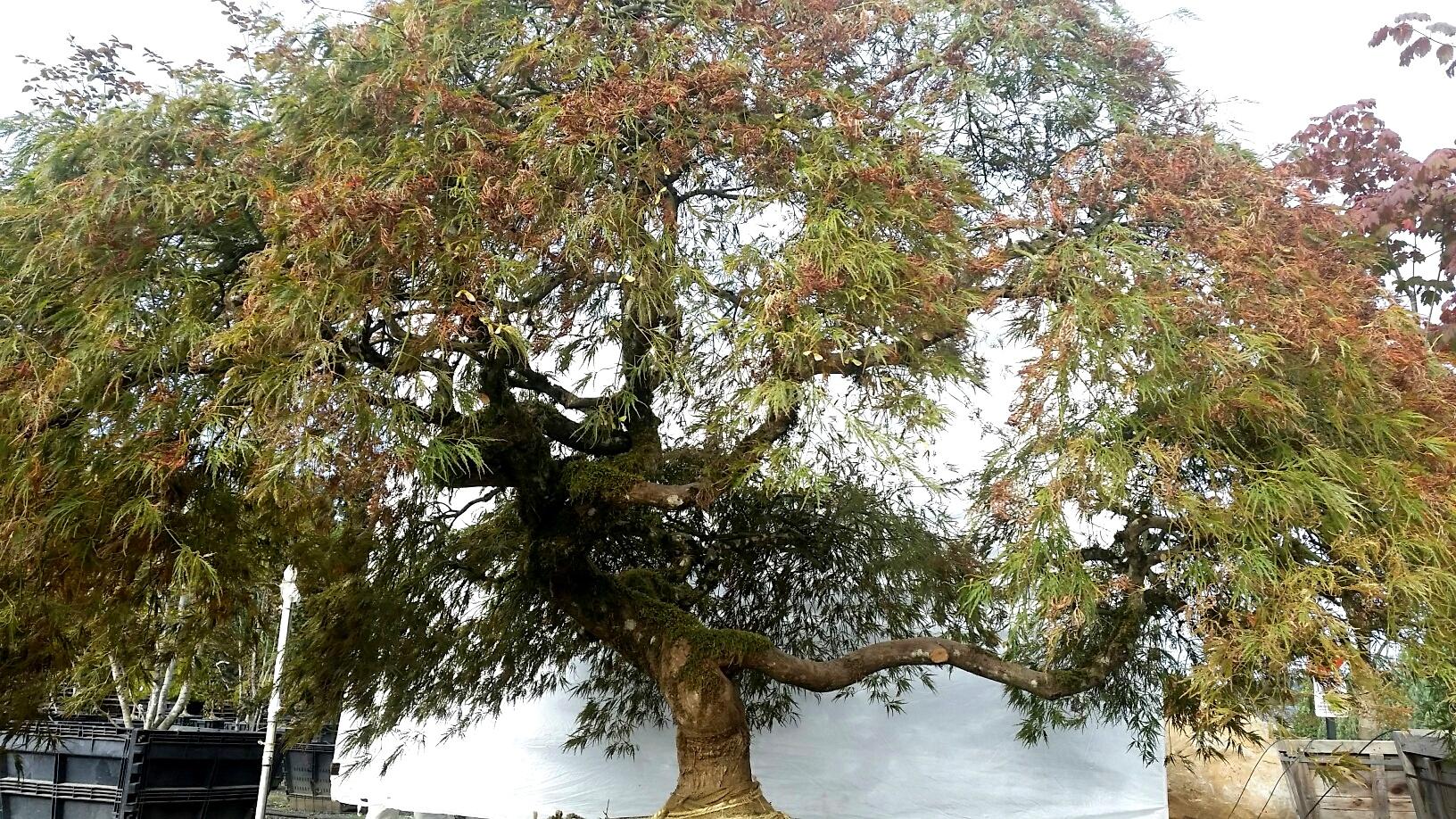 Acer p.d. 'Ornatum'SPECIMEN #3, low branches