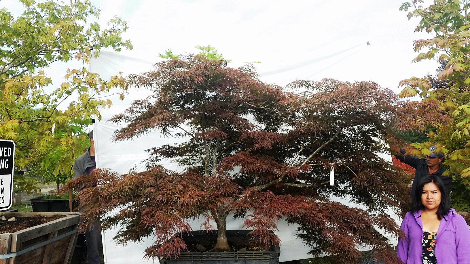 Acer p.d.  'Garnet' specimen