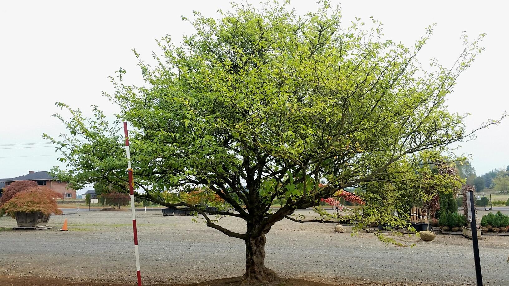 Styrax japonicus - specimen