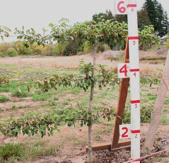 Pear, 3 Tier Espalier