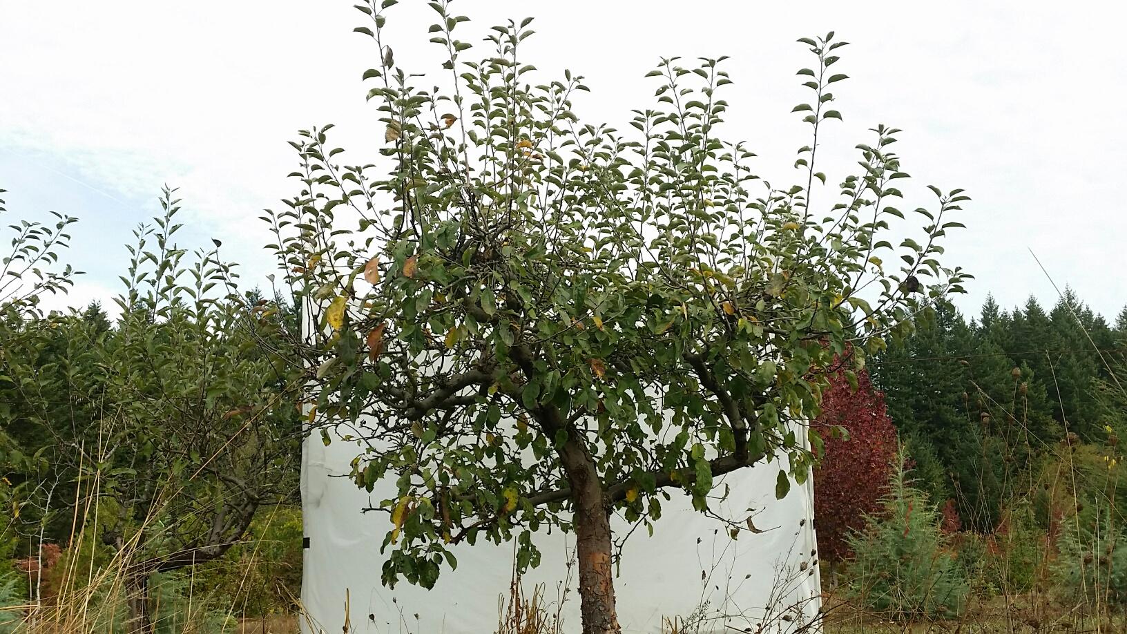 Apple- before pruning