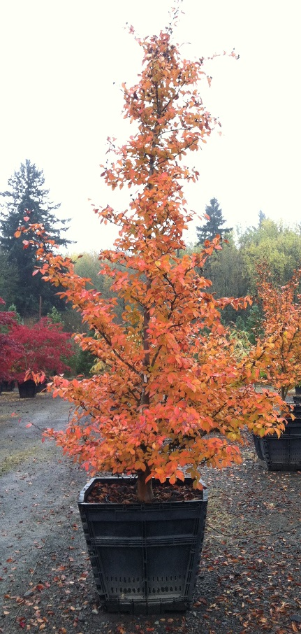 Stewartia pseudocamellia - Fall Color