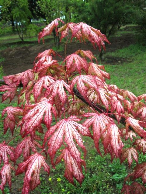 Close up of Acer p. 'Aka shigitatsu sawa' leaves.
