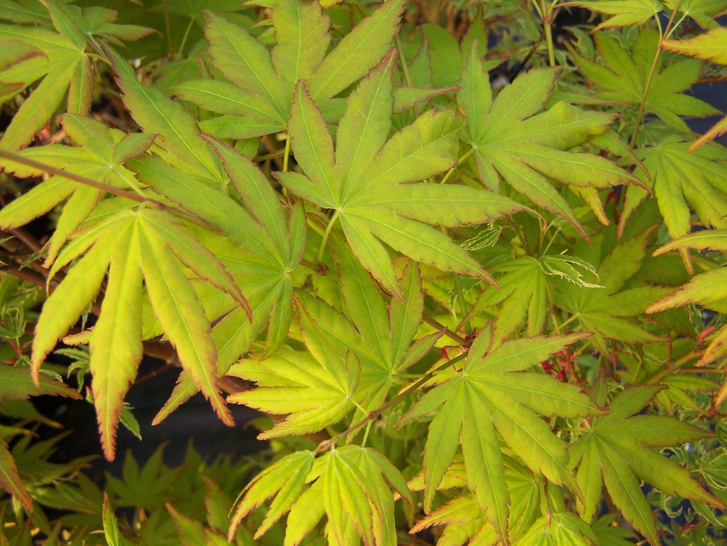 Acer p. 'Katsura' closeup of leaves