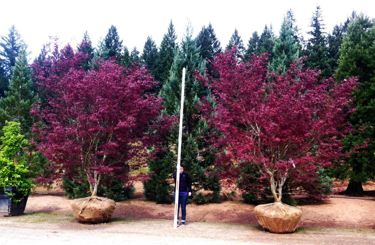 Acer p. 'Bloodgood' multi-trunk specimens