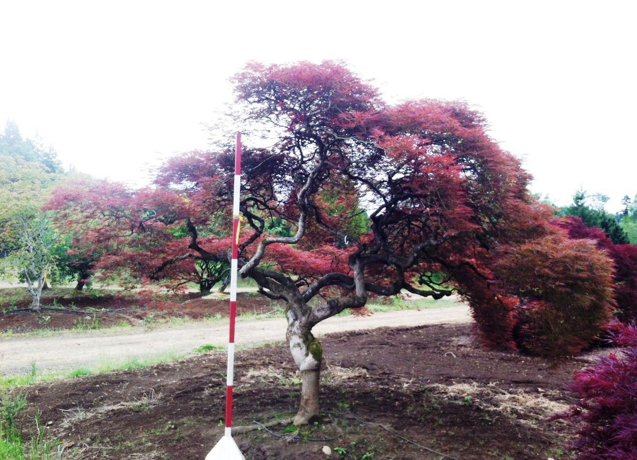 Acer p. d. 'Ornatum' Spec