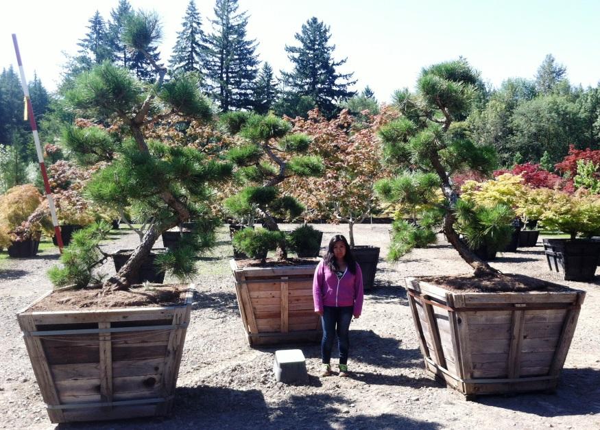 Pinus thun. 'Arakawa sho'