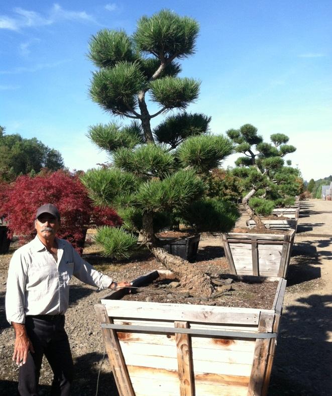 Pinus thun. 'Hakuho'
