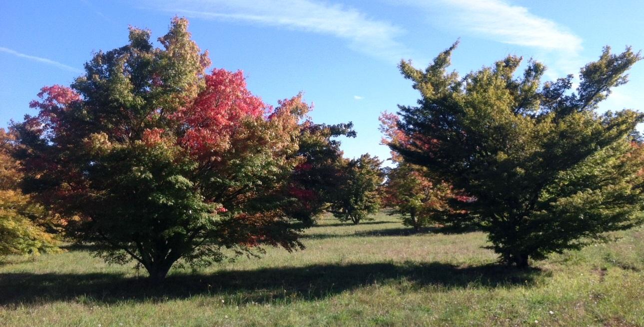 Acer palmatums