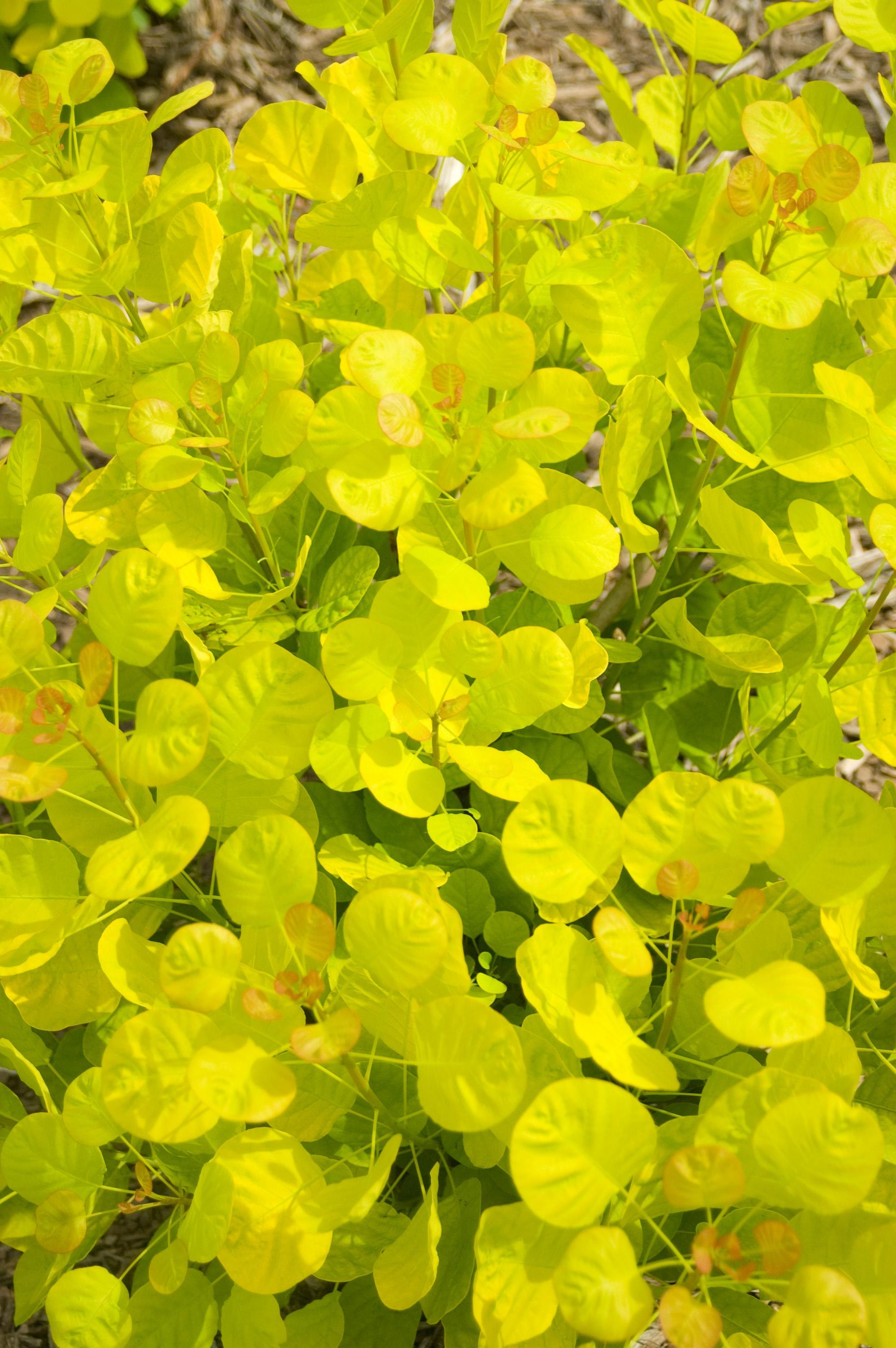 Cotinus cogg. 'Golden Spirit' foliage