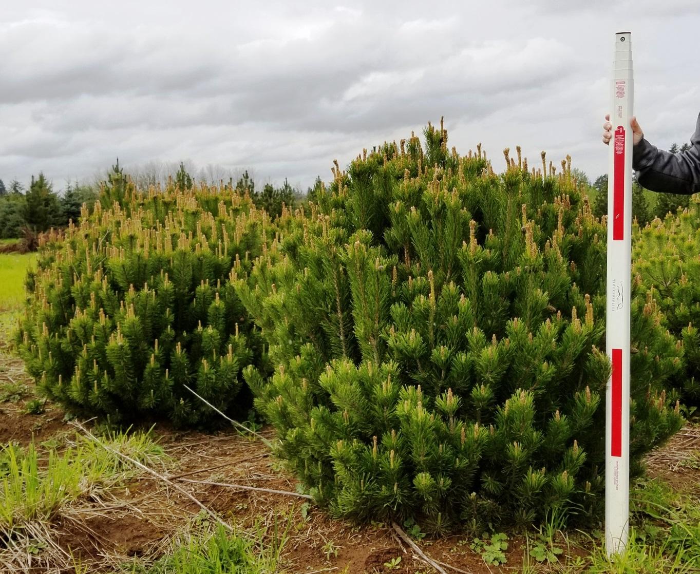 Pinus mugo 4-5'.jpg