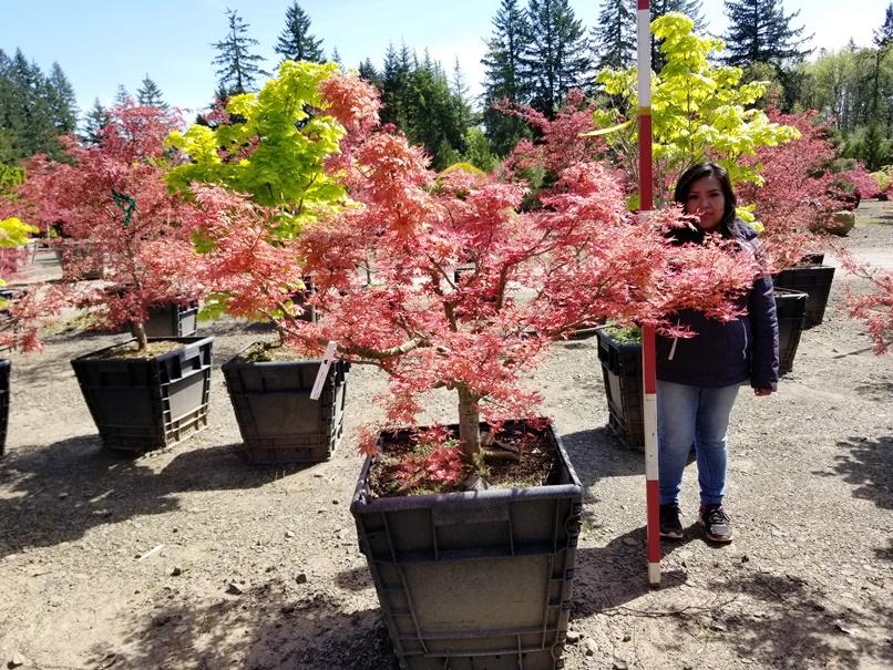 Acer p. 'Corallinum'.jpg