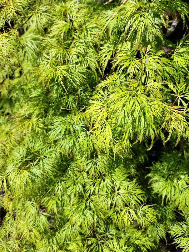 Acer pd. 'Emerald Lace' Leaf.jpg