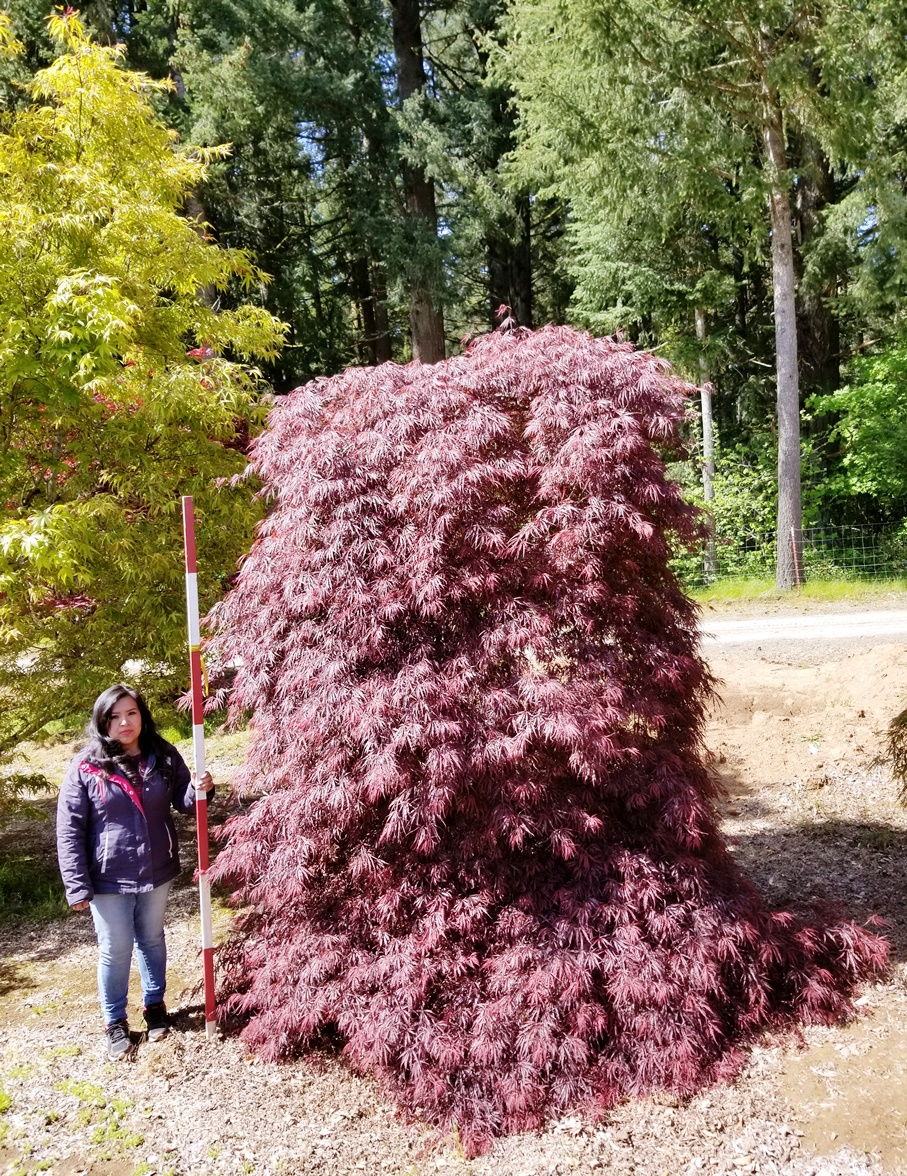 Acer p. d. 'Tamukeyama' tree form