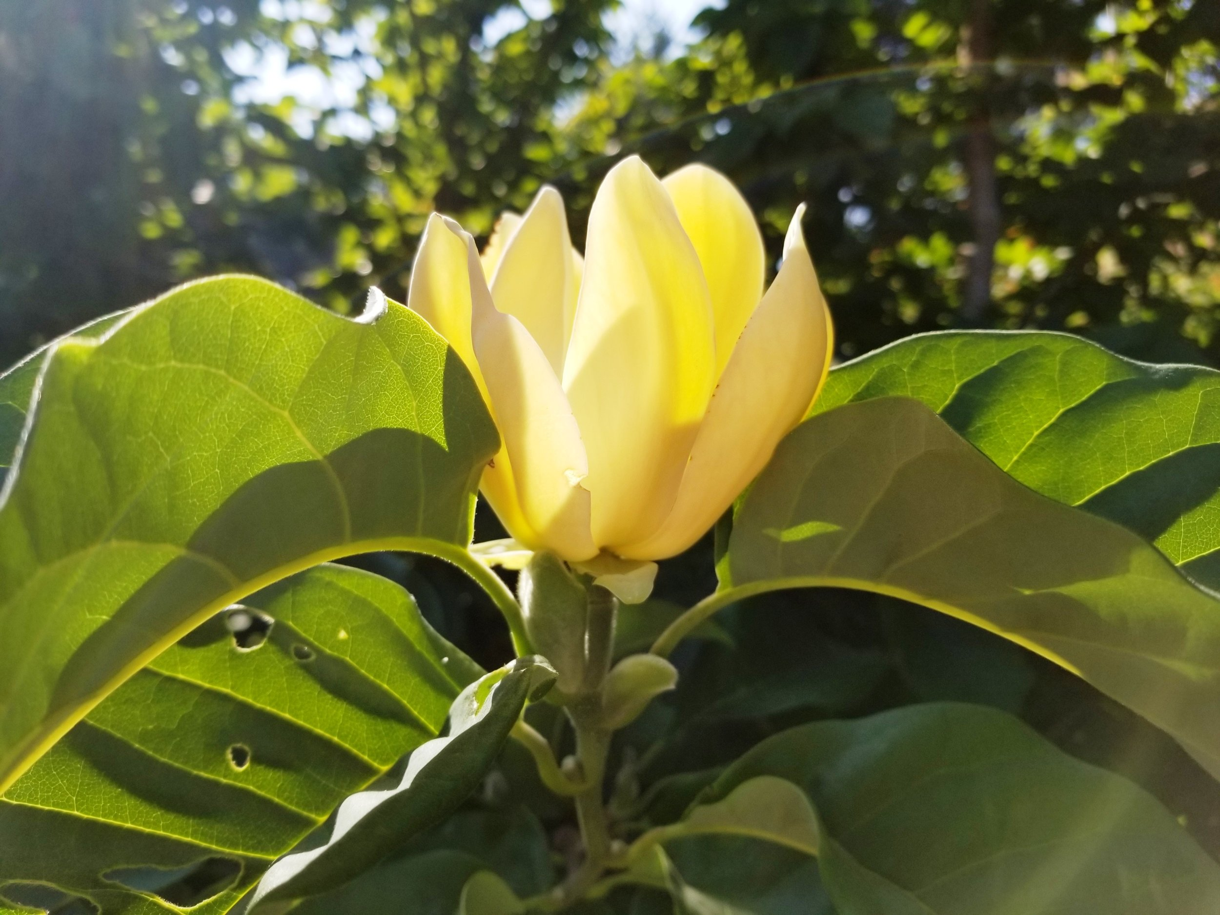 Magnolia 'Yellow Bird' Flower.jpg