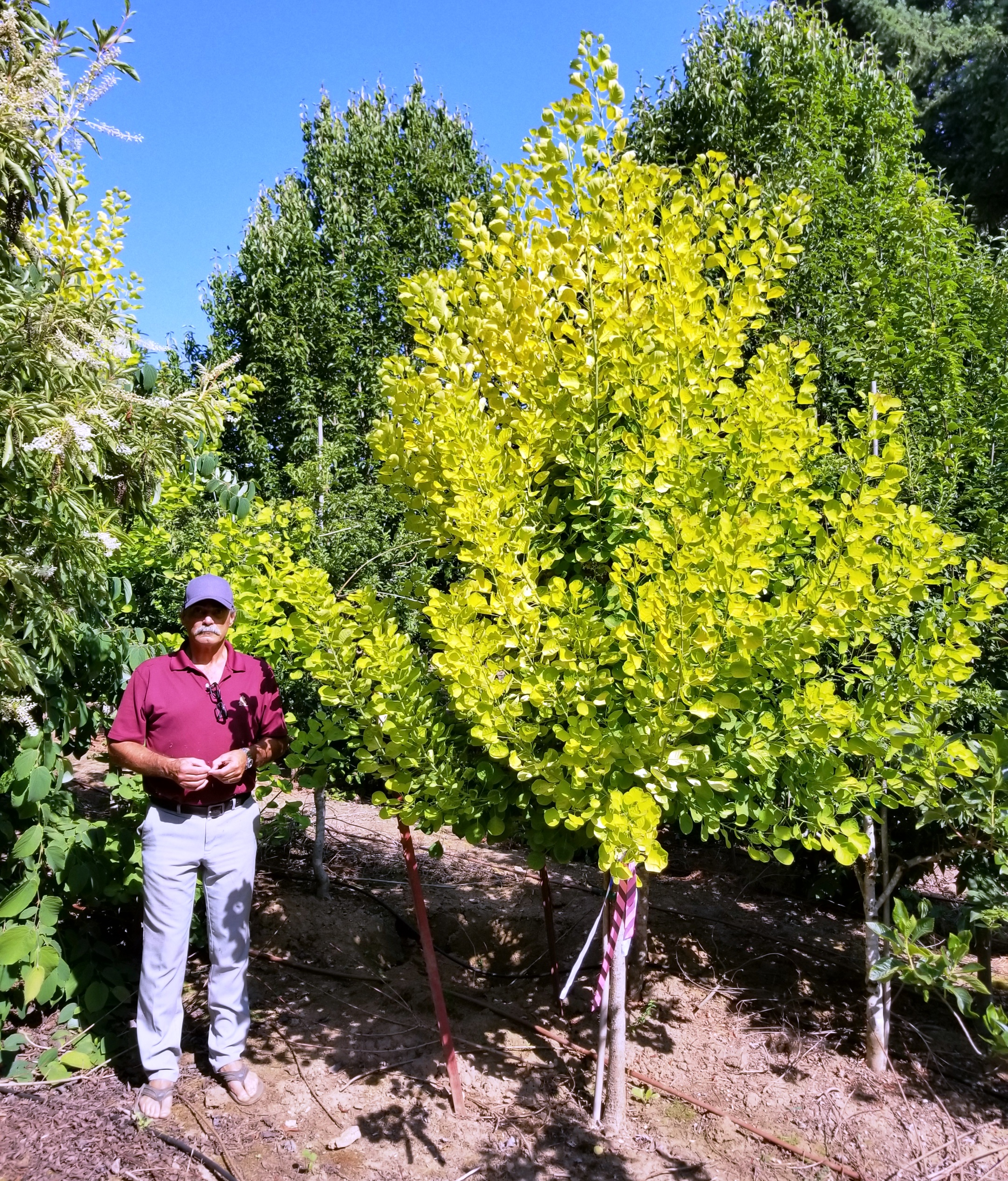 Cotinus 'Golden Spirit' Tree Form (2).jpg