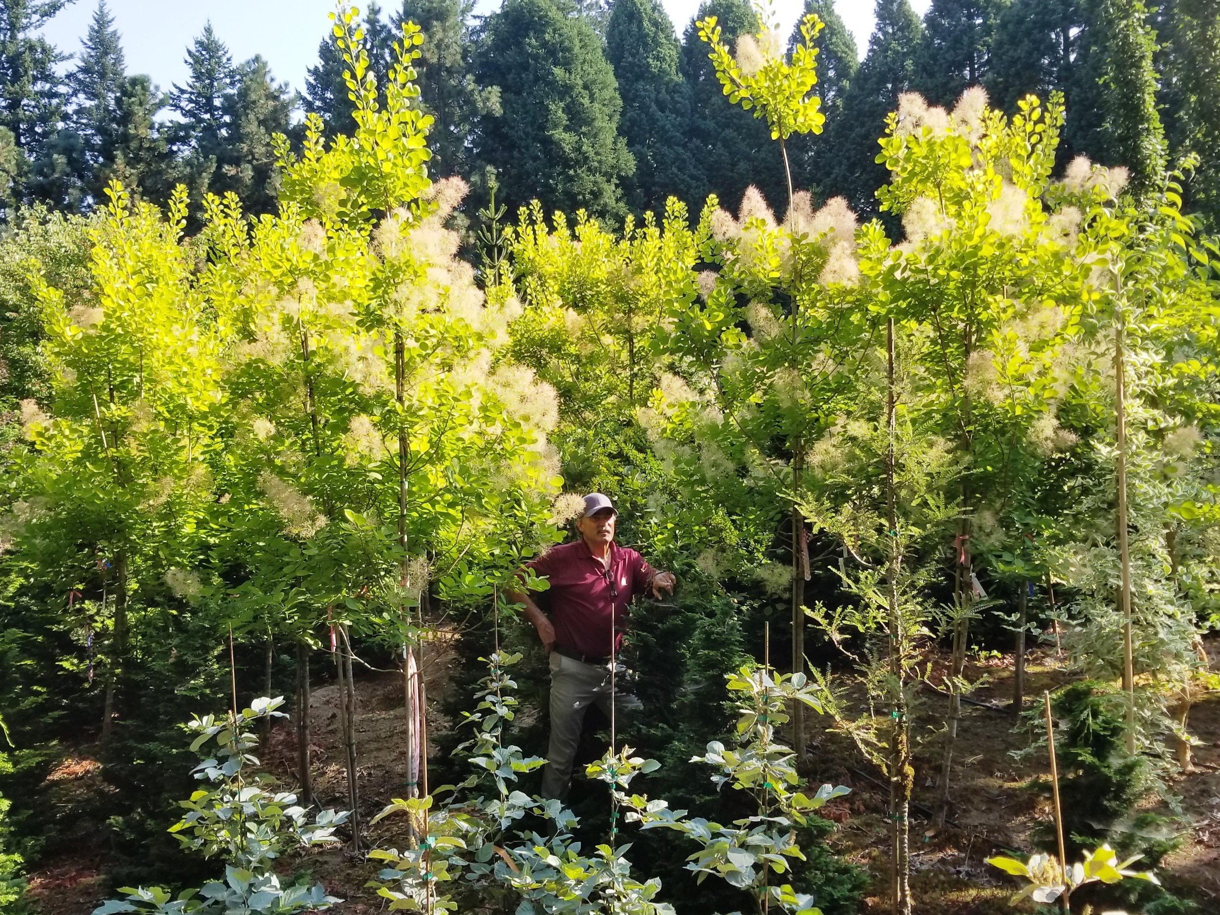 Cotinus 'Golden Spirit' Tree Form.jpg