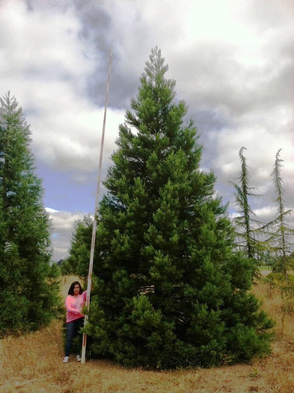 Sequoiadendron giganteum 24-25'